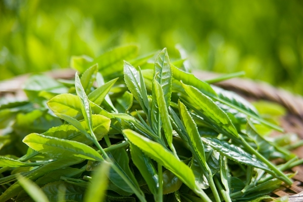 Một trong những thực phẩm ngừa ung thư rất hiệu đó chính là trà xanh do có chứa chất chống oxy hóa cực mạnh