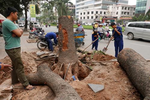 Tin tức mới cập nhật 24h ngày 20/03 cho biết Hà Nội có quyết định dừng việc chặt hạ cây xanh