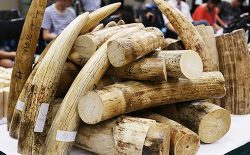 Ngà voi lậu bị phát hiện tại sân bay Pháp
