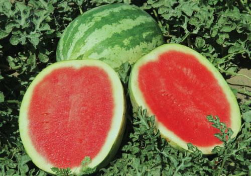 Kỹ thuật trồng cây dưa không hạt cho quả ngon