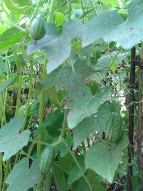 """Dưa hấu tí hon có tên khoa học là Melothria scabra. Mặt hàng này được nhập khẩu từ nước ngoài (Mexico, Mỹ, Anh…) nên giá rất """"chát"""", dao động từ 1,3 - 1,5 triệu đồng/kg. Ảnh: báo Kiến thức"""
