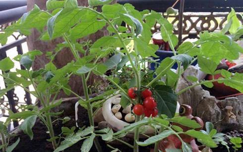 Cà chua bi là thành phần đặc biệt cho các món sa lát, vừa bổ sung dinh dưỡng, vừa gia tăng tính thẩm mĩ. Ảnh: VietNamNet