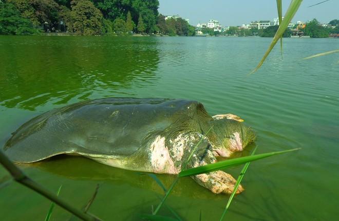 Sự việc cụ rùa Hồ Gươm đã chết khiến người dân Việt Nam tiếc thương, ngậm ngùi