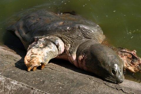 Trước đó, các nhà khoa học từng nhiều lần lo ngại bệnh của cụ Rùa Hồ Gươm sẽ tái phát