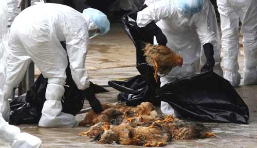Cúm gia cầm: Nhanh chóng tiêu hủy đàn gia cầm mắc bệnh