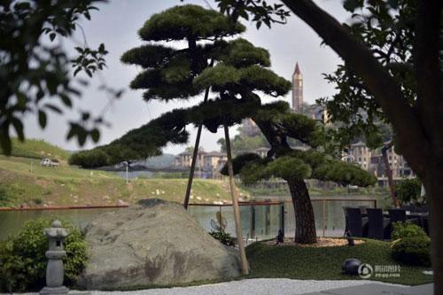 Tạo hình độc đáo của cây hắc tùng mà ông Lý đem từ Nhật Bản v