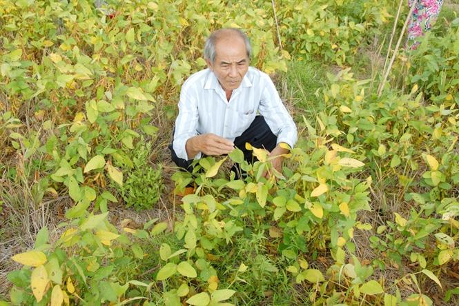 Cây đậu nành có nhiều lợi thế do thích hợp với nhiều vùng đất, năng suất cao, lợi nhuận cao hơn lúa
