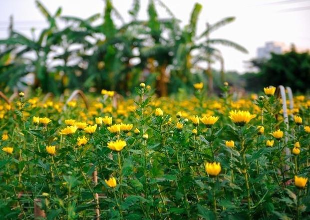 Làng cúc Phong phú là một trong những địa điểm chụp ảnh Tết Âm lịch không thể bỏ qua
