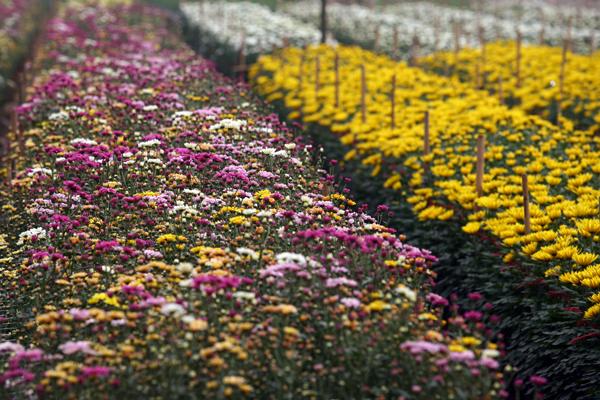 Làng hoa Tây Tựu không chỉ là một nơi buôn bán hoa mà còn là một địa điểm chụp ảnh Tết Âm lịch rực sắc