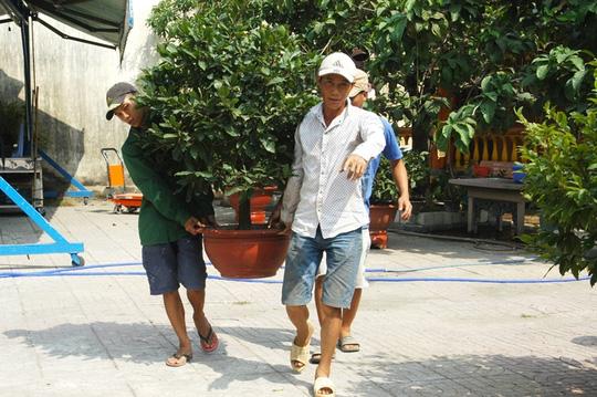 Những cậu mai kiểng ngày Tết sẵn sàng từ vườn ra đường phục vụ khách hàng