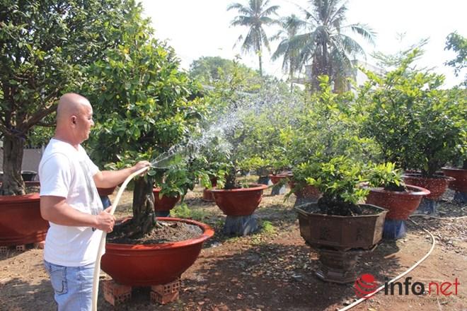 Nhiều khách hàng đã liên hệ các chủ vườn để đăng ký thuê mai Tết từ cách đó cả tháng trời