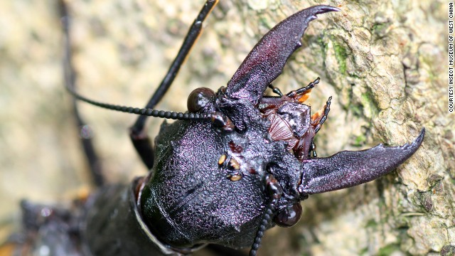 Phát hiện loài côn trùng lớn nhất thế giới ở Trung Quốc