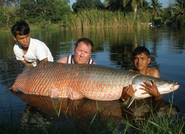 Cá hải tượng cũng là một trong những loài bị săn lùng nhiều nhất tại Nam Mỹ bởi có giá trị kinh tế cao. Do đó, để tìm thấy những chú cá hải tượng có chiều dài trên 2m sống trong tự nhiên là cực kỳ hiếm