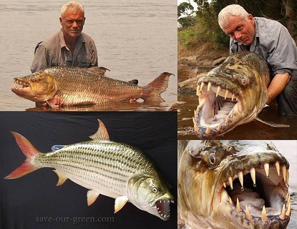 Cá hổ Congo là một loài cá ăn thịt khổng lồ của châu Phi, sinh sống chủ yếu ở lưu vực sông Congo. Loài cá này có thể phát triển đến chiều dài 1,5m và nặng 50kg.
