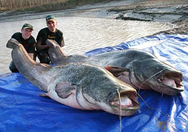Cá nheo châu Âu có kích thước lớn lên đến 4m và trọng lượng có thể đạt 400kg, là loài cá nước ngọt lớn thứ hai trong khu vực.  Miệng của cá nheo châu Âu có chứa nhiều răng nhỏ, 2 râu dài trên hàm trên và 4 râu ngắn dưới hàm dưới. Loài này sử dụng những cái vây của mình để bắt mồi.
