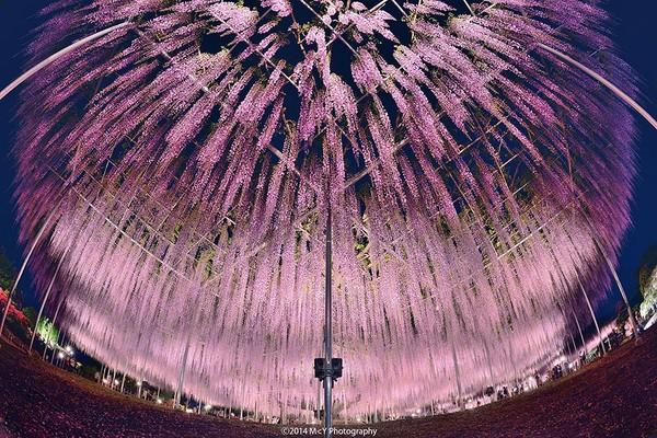 Các du khách có thể đi lại phía dưới tán hoa và đắm mình trong ánh sáng màu hồng và tím của những bông hoa, trông giống như phong cảnh của một bầu trời đêm vậy.