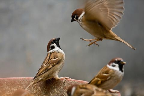 Món ăn từ chim sẻ rất có tác dụng trong trường hợp suy nhược, yếu sinh lý