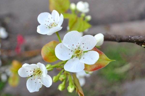 Hoa lê trong Chuyện Kiều ngập chợ hoa Quảng An với giá tiền triệu