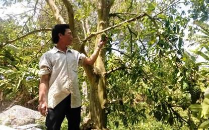 Ông Võ Văn Bền, ngụ ở ấp Long Thạnh 1, xã Long Phú đã nhiều lần bán lá mãng cầu xiêm