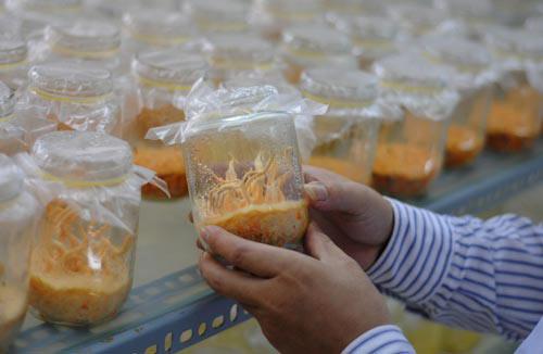 Hòa Bình: Kỹ thuật nuôi Đông trùng hạ thảo cho chất lượng cao gấp 3 Trung Quốc