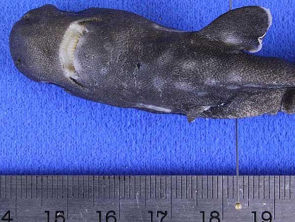 Động vật kỳ lạ mang tên cá mập túi được tìm thấy tại Mỹ