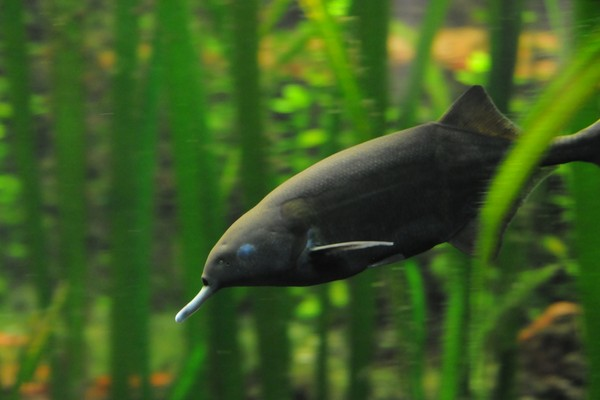 Cá mũi voi là một loài động vật lạ tự phát ra điện
