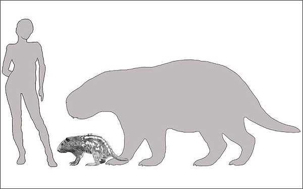 Động vật lạ- lòi chuột lang ở Nam Mỹ có kích thước to hơn người