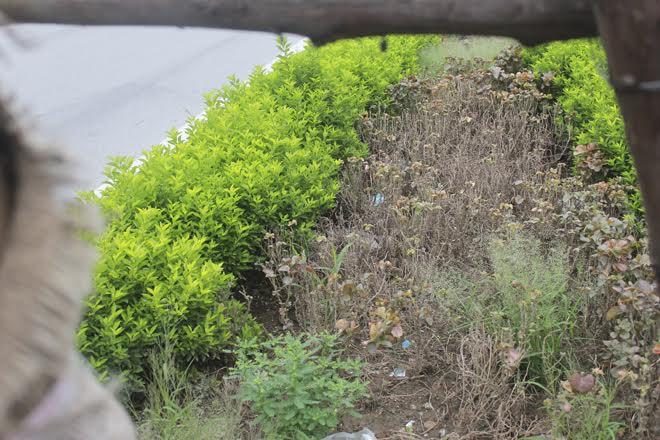 Nhiều thảm cỏ lâu ngày không được chăm sóc trở nên khô cằn và bị chết. Ảnh chụp trên phố Xã Đàn.