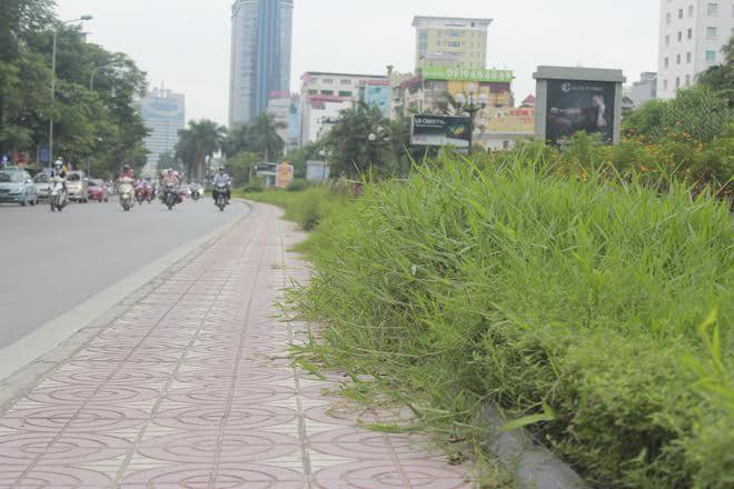 Trên đường Nguyễn Chí Thanh, cỏ tốt không được cắt tỉa dẫn đến tình trạng mọc lấn sang hành lang.