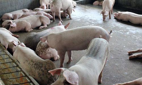 Phó Thủ tướng ra 'tối hậu thư' yêu cầu 'giải cứu' thịt lợn. Ảnh minh họa
