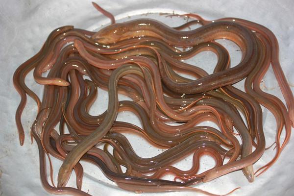 Lươn là nguồn thực phẩm giàu dinh dưỡng và có nhiều công dụng chữa bệnh. Ảnh minh họa