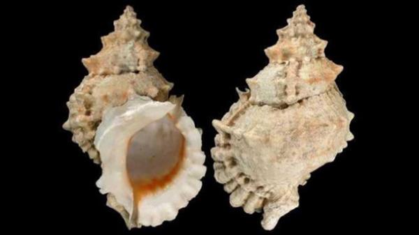 Tutufa bufo, loài ốc biển có tiền sử gây ngộ độc tại Việt Nam và một số nước khác. Ảnh: Tuổi trẻ