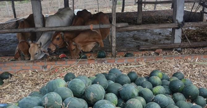Giá dưa hấu rẻ mạt đến mức nhiều hộ phải mang đổ bỏ cho bò ăn