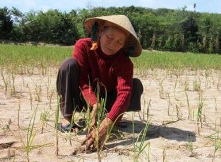 Trong khi giá dưa hấu ở Gia Lai sụt giảm thê thảm thì người trồng tỏi Lý Sơn cũng chỉ biết khóc ròng vì mất mùa