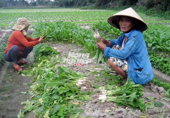 Nghịch cảnh không có rau bán dù giá rau củ quả đang tăng khiến người nông dân chỉ biết thở dài