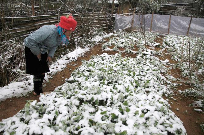 Hiện giá rau xanh ở miền Bắc tăng khoảng 10 – 15% giữa lúc rét đậm rét hại kéo dài