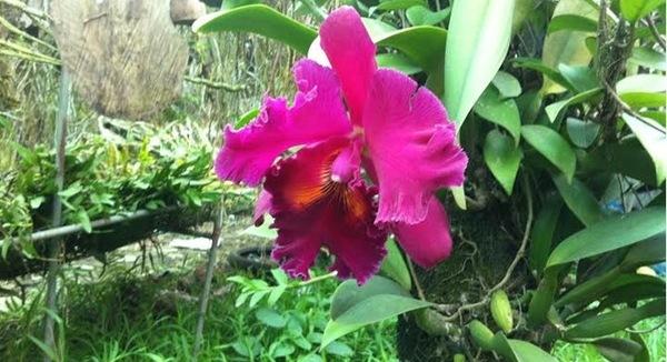 hoa lan nghìn đô, phong lan, lan Cattleya, tết nguyên đán, triển lãm