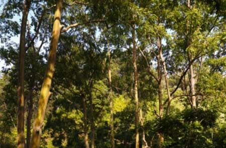 vàng , cây