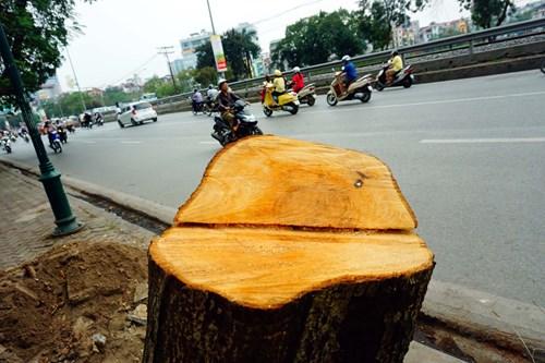 Hà Nội sẽ tiến hành thanh tra toàn diện việc chặt hạ cây xanh trong thời gian qua