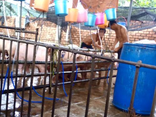 Heo bơm nước tại Đồng Nai