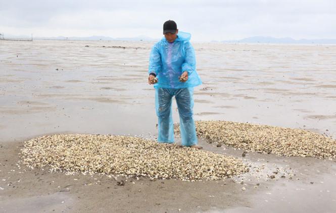 Trong khi đó, người dân ở Hải Hà (Quảng Ninh) cũng khóc ròng khi chứng kiến cảnh ngao chết hàng loạt trắng bãi nuôi
