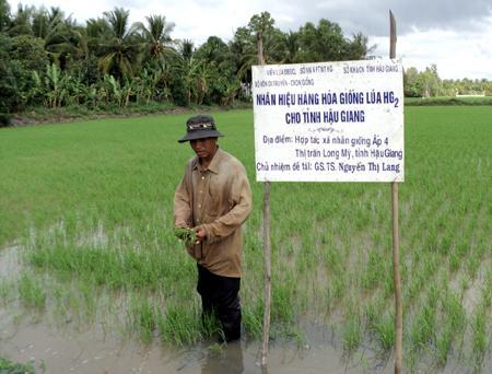 Hậu Giang: Đột phá từ giống lúa