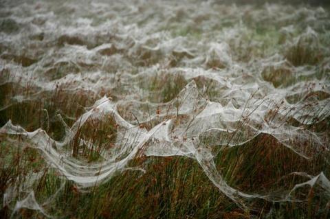 Mạng nhện phủ trắng mặt đất