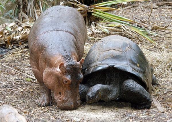 Hiện tượng lạ xảy ra sau khi hà mã con chung sống với chú rùa  hàng trăm năm tuổi