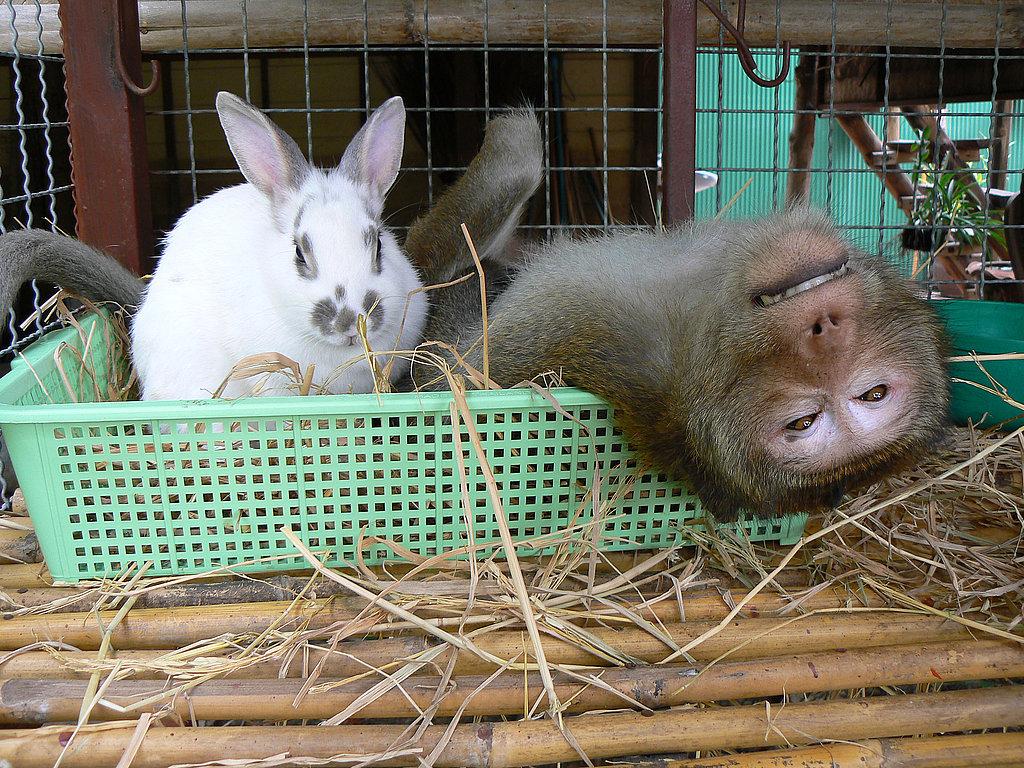 Hiện tượng lạ kỳ xảy ra tại Thái Lan giữa chú khỉ BoonLau và chú thỏ  Toby