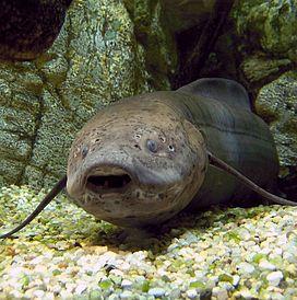 Cá phổi là 1 hiện tượng bí ẩn khi sống mà không cần nước tới 2 năm