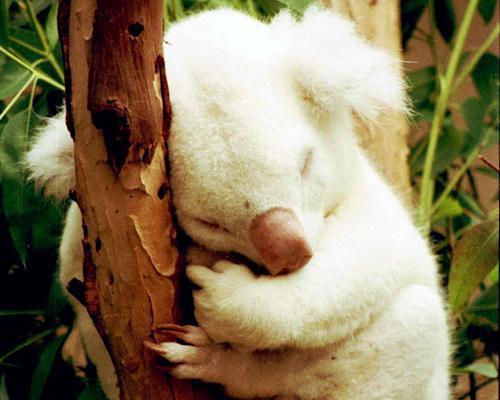 Bạch tạng trên những chú gấu túi là 1 hiện tượng bí ẩn và vô cùng hiếm