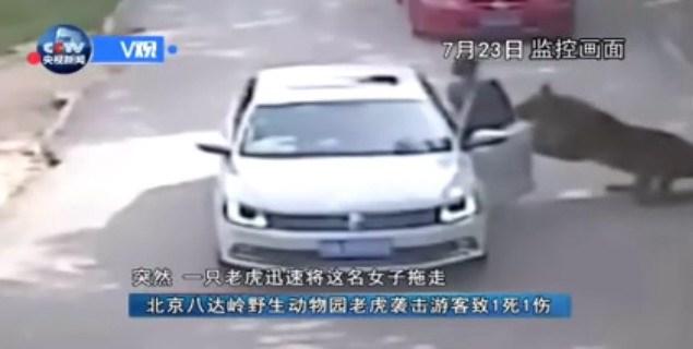 Khoảnh khắc hổ cắn chết người và kéo lê nạn nhân khỏi ô tô tại vườn thú Trung Quốc