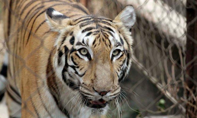 Trước đó ở Tây Ban Nha cũng xảy ra vụ việc hổ tấn công người đến chết ở công viên