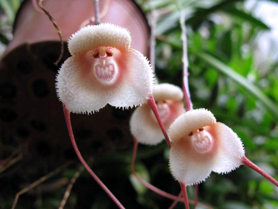 Hoa lan mặt khỉ, được phát hiện tại Đông Nam, Ecuador và biên giới Peru, đây là loài hoa có tên khoa học là Dracula simia. Dracula là tên một chi của họ lan, đài hoa có râu dài ra như chiếc nanh ma cà rồng, Simia là tên loài linh trưởng trong tiếng La tinh